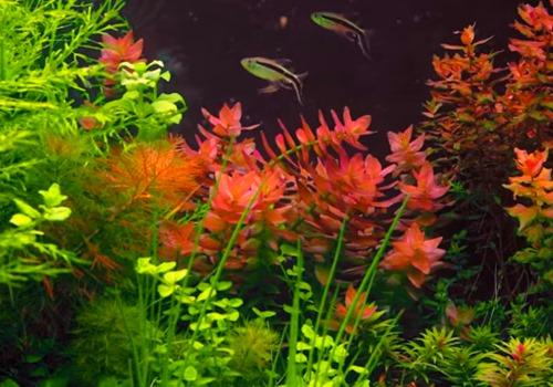 aquarium-fast-growing-plant