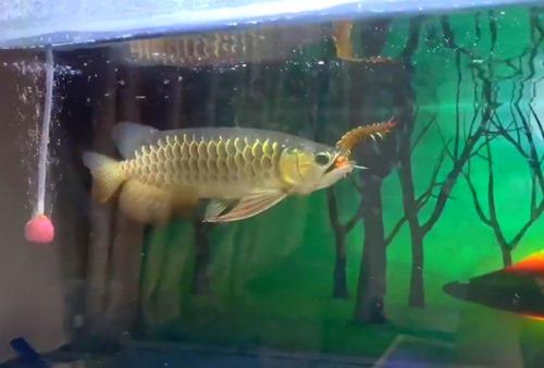 arowana-eating-centipede