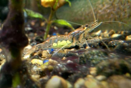 indian-whisker-shrimp