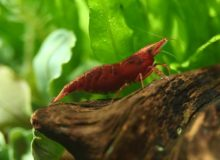 red-cherry-shrimp.jpg