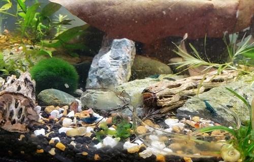 shrimp-tank-setup