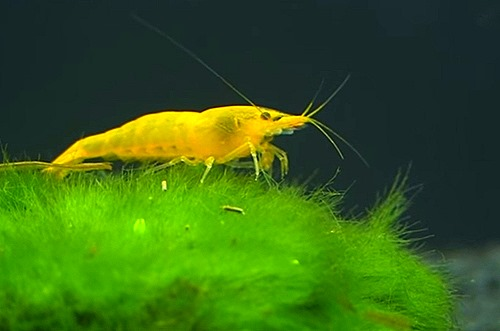 yellow-cherry-shrimp