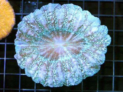 Acanthophyllia-deshayesiana