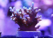Acropora-awi-Deepwater-Bottlebrush