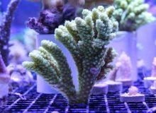 Acropora-ocellata