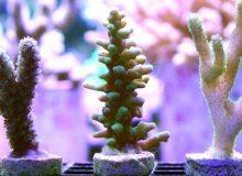 Acropora-rosaria