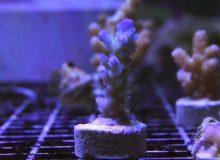 Acropora-vermiculata