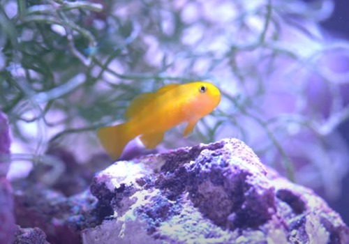 Clown-Goby
