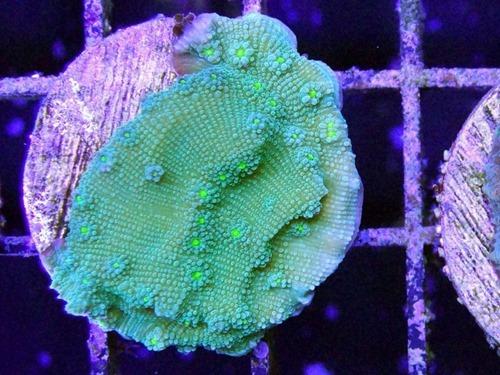 Echinopora-lamellosa