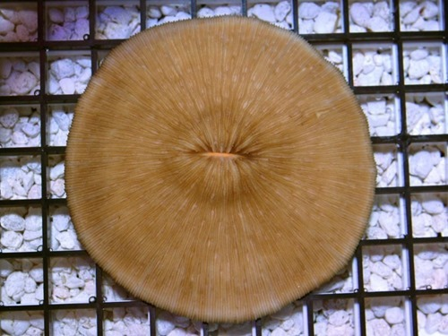 Fungia-sp