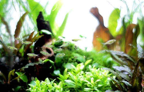 Green-Neon-Rasbora.jpg