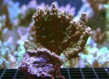 Montipora-stellata