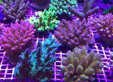 acropora-corals.jpg
