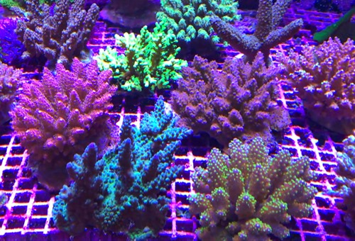 acropora-corals
