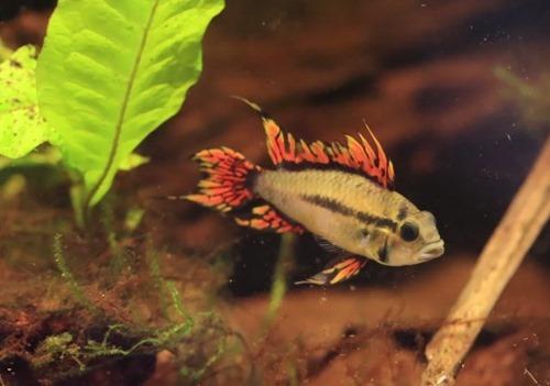 apistogramma-dwarf-cichlids