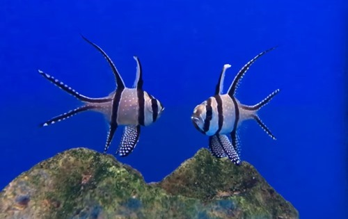 bangaii-cardinalfish.jpg