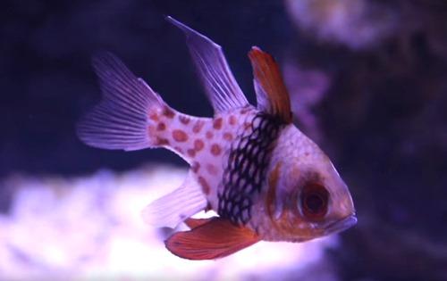 pajama-cardinalfish