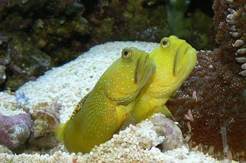 watchman-goby-cc3.0