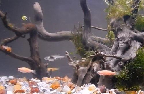 zebra-danio-aquarium