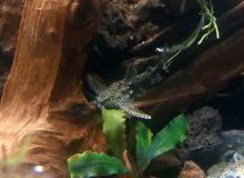 asian-stone-catfish-1.jpg