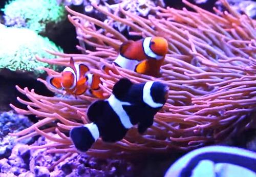 black-ocellaris-clownfish