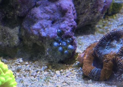 bubble-algae