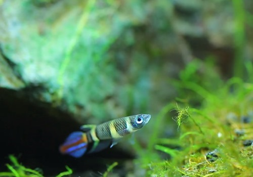clown-killifish-1