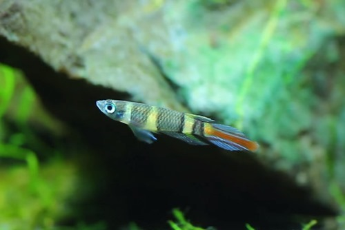 clown-killifish-2