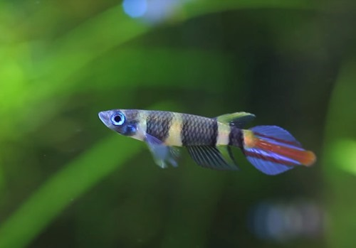 clown-killifish