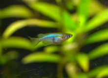daisys-ricefish