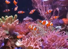 ocellaris-clownfish.jpg