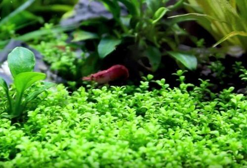Cuba pearl grass