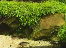 utricularia-graminifolia