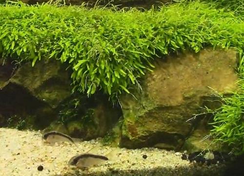 Grass leaved bladderwort