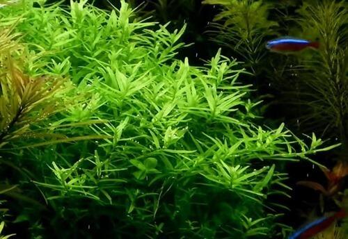 rotala-rotundifolia-green