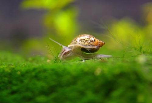pond-snails