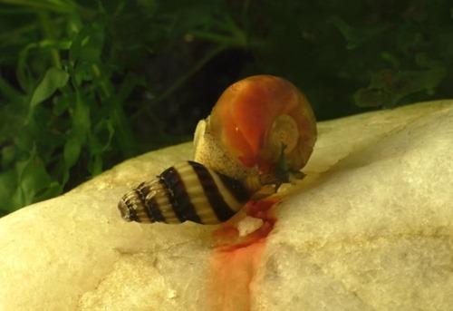 snail-eating-snail