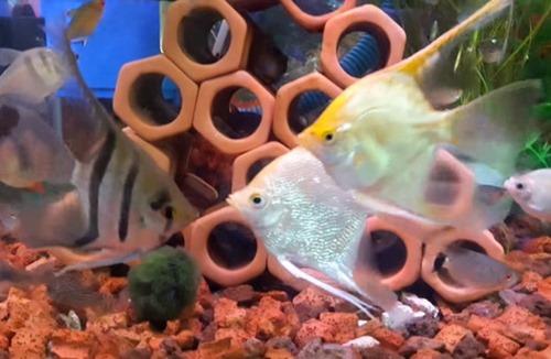 angel-fish-breeding