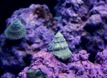 astrea-snail.jpg